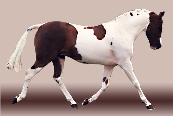 Harroway Mr Harlequin. Chestnut tobiano riding pony, 1998 European coloured ridden stallion champion